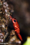 Strawberry dart frog [costa_rica_siquirres_0510]