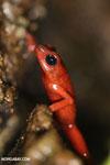 Strawberry dart frog [costa_rica_siquirres_0513]