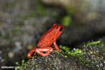Strawberry dart frog [costa_rica_siquirres_0515]