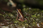Phyllobates lugubris frog