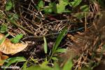 Lizard [costa_rica_siquirres_0535]
