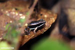 Poison dart frog (Allobates talamancae)