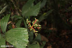Rainforest palm tree [costa_rica_siquirres_0572]