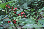 Coffee berries [costa_rica_siquirres_0577]