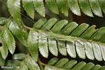 Katydid [costa_rica_siquirres_0658]
