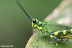 Glasshopper [costa_rica_siquirres_0682]