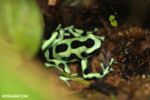 Green-and-black dart frog [costa_rica_siquirres_0698]