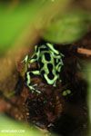 Green-and-black dart frog [costa_rica_siquirres_0699]