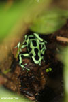 Green-and-black dart frog [costa_rica_siquirres_0700]