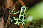 Green-and-black dart frog [costa_rica_siquirres_0706]
