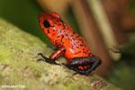 Strawberry dart frog [costa_rica_siquirres_0716]