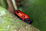 Strawberry dart frog [costa_rica_siquirres_0717]