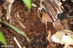 Allobates talamancae poison dart frog [costa_rica_siquirres_0722]