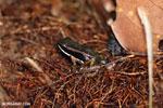 Poison dart frog (Allobates talamancae) [costa_rica_siquirres_0724]