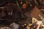Allobates talamancae frog [costa_rica_siquirres_0726]