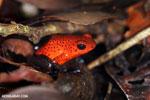 Strawberry dart frog [costa_rica_siquirres_0727]