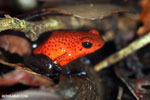 Strawberry dart frog [costa_rica_siquirres_0728]