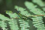 Glasshopper [costa_rica_siquirres_0734]