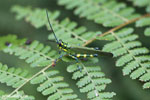 Glasshopper [costa_rica_siquirres_0739]
