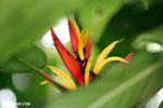 Heliconia [costa_rica_siquirres_0742]