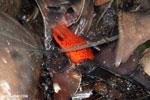 Strawberry dart frog [costa_rica_siquirres_0748]