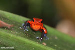 Strawberry dart frog [costa_rica_siquirres_0750]