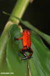 Strawberry dart frog [costa_rica_siquirres_0756]