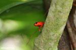 Strawberry dart frog [costa_rica_siquirres_0766]