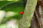 Strawberry dart frog [costa_rica_siquirres_0767]
