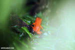Strawberry dart frog [costa_rica_siquirres_0780]