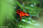 Strawberry dart frog [costa_rica_siquirres_0783]