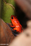 Strawberry dart frog [costa_rica_siquirres_0787]
