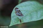 Glasswinged butterfly (Greta oto) [costa_rica_siquirres_0790]