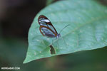 Transparent-winged butterfly [costa_rica_siquirres_0792]