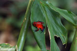 Strawberry dart frog [costa_rica_siquirres_0812]