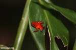 Strawberry dart frog [costa_rica_siquirres_0813]