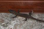 Lizard [costa_rica_siquirres_0871]
