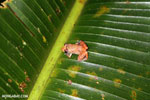 Frog [costa_rica_siquirres_0872]