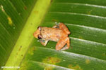 Frog [costa_rica_siquirres_0873]