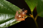 Frog [costa_rica_siquirres_0882]
