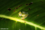 Glass frog [costa_rica_siquirres_0895]