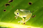 Glass frog [costa_rica_siquirres_0898]
