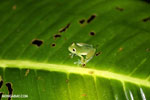 Glass frog [costa_rica_siquirres_0901]