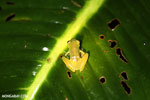 Glass frog [costa_rica_siquirres_0902]