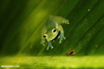 Glass frog [costa_rica_siquirres_0910]