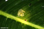 Glass frog [costa_rica_siquirres_0914]