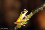 Tree frog [costa_rica_siquirres_0941]