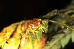 Tree frog [costa_rica_siquirres_0946]