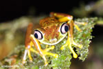 Tree frog [costa_rica_siquirres_0949]