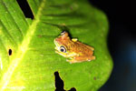 Tree frog [costa_rica_siquirres_0953]